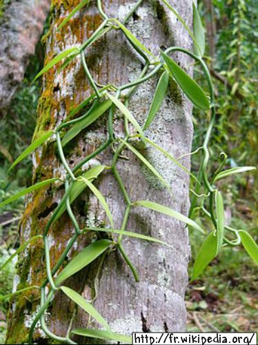 La vanille de Tahiti (Tahitian vanilla)