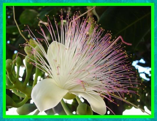 Les fruit, légumes et fleurs de Tahiti et ses îles (suite)