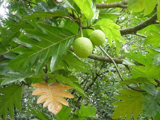 Festival du fruit de l'arbre à pain