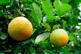 La fête de l'orange à Punaauia
